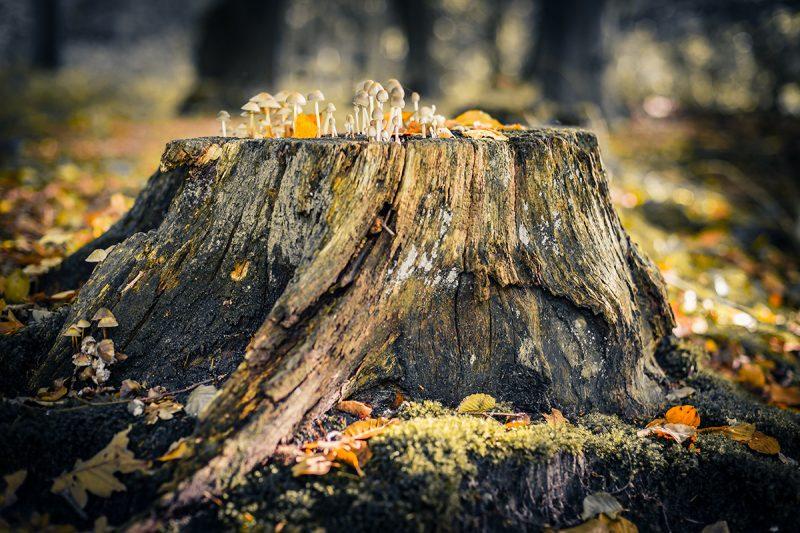 Baumstumpf mit Pilzbewuchs. Herbstimpression